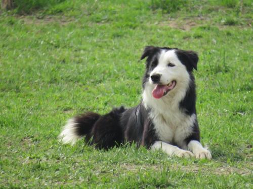 Sheep dog (26)