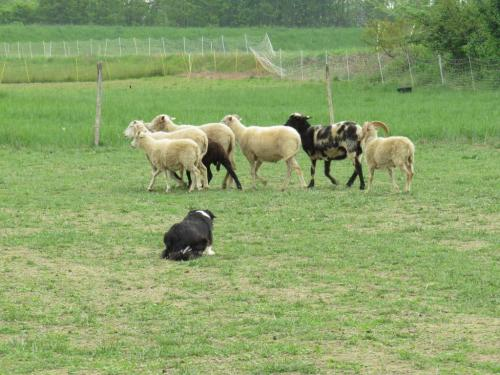 Sheep dog (51)