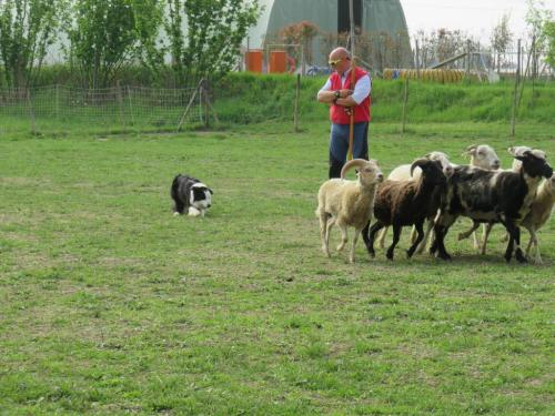 Sheep dog (59)